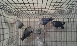 Beautiful young Birds six months old.Very pretty colors.Some 100.00 and some 125.00 depending on the colors.For more info.please call us at 407-230-0840 anytime or 407-230-0106 after 4:30pm.