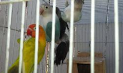 FISHER LOVEBIRDS ONE FOR 30.00 or ALL FOR 125.00 CONTACT 714495 5960 TEXT CALl.