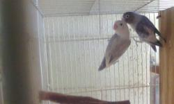 Hi I have a couple of fisher lovebirds some of them are proven pair, some never had been breeder, they are in very good health, there are violet, white diluted mauve slate and more, $30each if some one are interested on them just send me an E mail please