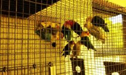 Hello I have for sale a group of fisher lovebirds they are young & very Healthy ages between 3/4 months old also I have a couple of yellowfaces dirty head only $75 each the fisher are split to yellowfaces came from yellowfaces parents price start at $40