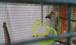 I have one 6 month old Fishers Violet Pied Yellow Face available. This is double factor violet. I am on the Tampa area and will ship at buyers cost. Call Bob @ 727-237-9022