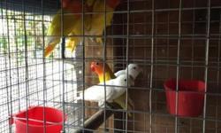 Son pájaros de este año en muy buenas condiciones los tengo Lutinos y blancos en 40 $ dólares el pájaro muy buenos para comenzar a criar Llamar al 7865972093 3057967468