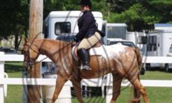 """Archie is a 15 yr old Registered Appaloosa gelding. He is a multiple time world and reserve world champion! He excels in hunter under saddle and has a fantastic jump with 10+ movement. Sired by """"the Hunter"""" he has all of his fantastic abilities. Archie is"""