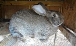 Flemish Giants male and female available verity of colors