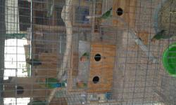 12 lovebirds for sale healthy and beautiful ... 5 peachface babies (2 of them possible opaline) 2 seagreen females 5 peachface adults There are 3 breeding pairs in the flock...