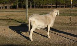 Registered Katahdin Ram born May 2014. An own son of HLB 1525 NITRO. Bloodlines include GOLIATH, THE OLD MAN, TURBO, and EMB CHIEF. Solid white. Broke to lead and tie. The best way to reach me is by phone.