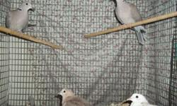 I HAVE 6 RING NECKED DOVES FOR SALE. $12 A PIECE. ONE WHITE/RED ONE ONE WHITEISH ONE AND 4 GREY ONES. VARIOUS AGES. THEY NEED HOMES ASAP. :) CALL JUDY AT 607-292-3208 OR REPLY TO THIS ADD AND I WILL EMAIL YOU BACK.