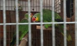 I have for sale 2 big red lored amazon aka yellow check please contac call 310 8445287 maeby trade for senegals red belly or Meyers parrots