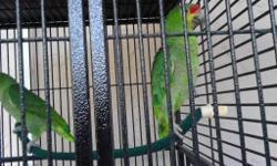 2 red loro amazon ,hembra y macho ,tambien esta incluida la jaula.llamar al 239 300 0585
