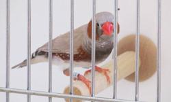 We are selling zebra finches babies. DOB March, 2013. They grew up healthy.