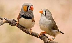 For sale zebra finches babies.Perfect health. Phone 561-4000-700