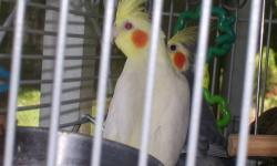 We have several breeding parakeets & one pair of normal tiels ($75.00pair)We also have a Breeding colony set-up of 3 pair 250.00 for cage boxes & keets .We have single keets $10.00-$15.00