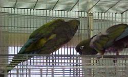 BIRDS FOR SALE OR TRADE 03-19-2012 Breeders male hawkhead ...............................$700.00 young B&G ......................................$700.00 male severe Macaw ...........................$400.00 peachface mutation lovebirds .............$40.00