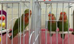 I have four peach faced Love Bird with green body. The birds are around six to seven months old. Gender is unknown. Asking price $30 each. No shipping. Cage not included. If you are interested, please email me.
