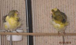 I have a pare of frill canaries (male & female) for sale , $125 each . full singer male ready for breeding . 818-8133872