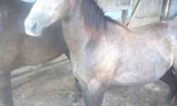 Gaited - Beauty - Large - Adult - Female - Horse Beauty is just that, Beautiful! She was a rescue that we took in last year and she was pregnant. She now has fully weened her baby and Beauty is now looking for her forever home. She is halter broke, loads