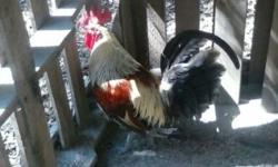Game Chickens(Kelso&Hatch) I have 2 grown roosters and 2 young roosters about 3 months old ... I also have 1 grown hen and 1 young hen that is 3 months. Asking $20.00 each or 2 for $35.00. I am located in Eastman. Please email if you need more info or