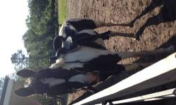 8 year old gelding rides western. 15.3-15.5 tall slim horse rides trails started on barrels sometimes gaited cash only contact 904-505-1006
