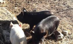 Neutered pigs make great backyard pets. Kunekunes avg 200#, but are very gentle and easy keepers. They are a true grazing pig and do little rooting of your lawn or pasture.