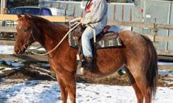Dixie is a well broke but gently used mare. She is up to date on fall shots (flu/rhino), recently had her teeth floated and is current on worming/feet trimming. Dixie originated in Oklahoma and spent time down south as a cow pony working cattle; most