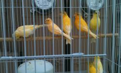 I have 20 German crested canaries, orange or yellow, males & females This ad was posted with the eBay Classifieds mobile app.