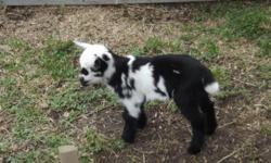 goat m/f 25lb /200lb 95.00n up also ram/ dorper sheep m/f call 786-255-3003