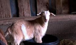 Pygmy Nubian Cross Mini Dairy Wethers Born 1/29/15 2 vaccines 2 dewormings