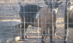 Four goats looking for a new home, two males and two females, dwarf, full grown, two are about 1½ years old and the other two are about 5 years old. All very tame and well mannered. Great with kids and other animals. Best of all they are great