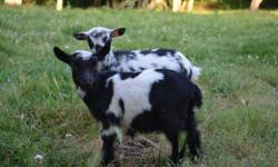 We have several Nigerian Dwarf and Pygmy Goats to sell. Some are from last year and are almost ready to be bred. We have several little doelings and wethers. The wethers are $100 each and we do have some doelings unreg for $125. The registered Nigerian