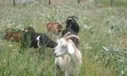 I have 6 goats that I would like to rehome before the winter. 3 of the 5 does are in milk, but I have only been milking every third day in an attempt to dry them up. The Nubian buck was born in 2013. He has been in rut and we are not sure whether the