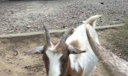 """Two very sweet pygmie goats to good home. """"HOME NOT HOMES:) These are PETS! Not supper! Trust me, lots of people eat goat. Perfect for children to learn about livestock. Gentle, Sweet, frisky and loving, I can't keep them, the """"main"""" reason I'm selling"""