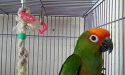 2 year old semi-tame Gold Capped Conure. He would make a wonderful pet just needs patience and time. He is on a diet of Zupreem Pellets, seeds, fruit and vegetables. Please contact for more info. Thank you.