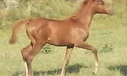 PVA COCO SHAHNEL 6/13/13 #660690 Chestnut filly. Gold Star Futurity nominated-auction class eligible. Her dam was 2002 Iowa Gold Star Futurity Auction class champion, and has produced one Gold Star Auction class champion already-let her be your next!!!