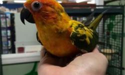 Adorable baby Golden Conure almost 2 months old. Being handfed but is being introduced to all kinds of food. Must have a license to purchase from out of Massachusetts. A license is not needed for Massachusetts residents. Email me for pictures