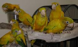 2 baby Golden Conures... Hand feeding now. Working on weaning. Investigating solid foods. $1,850 each weaned. FLORIDA SALES ONLY. No exceptions.