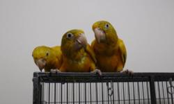 Do you wish to find a great home for your pet Golden Conure? Place him or her with our family of breeding Golden Conures. We ask only that the Golden is free of disease and visurses tas a safty means for our family of Golden Conures. We do have