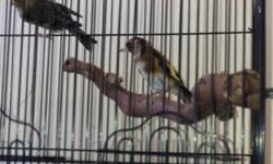 Hi I have couple of male golden finch and breeder canaries for sale text or call Nicolas for The price(619) 997-52 93.thanks This ad was posted with the eBay Classifieds mobile app.