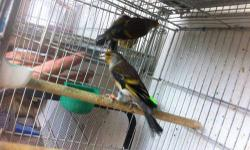 I have a rare canary x goldfinch cross that sing great. The bird is banded with a closed band from this year. He sings great and has a beautiful coloring. keyword: Canaries, goldfinch, finch, mule, hybrid, red factor, singing finch, green singer, gray