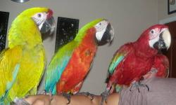 Good talking and Handtame Golden or Yellow Collared Macaw Serious inquiries only, Please call only or text, No Emails !