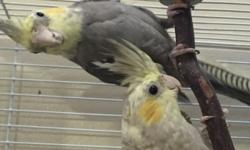 I have two Cockatiels available for a new home. They're both about 6 months old. They were not handfed, so they aren't very friendly but they come from amazing parents! They also have awesome feathering and incredible markings. These birds will make an