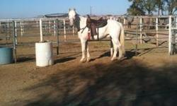 This gorgeous,15.3hh, 11 yr old TWH will turn head every where he goes! He is SUPER FLASHY with big blue eyes. Flash is a wonderfully smooth, comfortable ride in all gaits. He is a gentleman on the ground as well as under sadlle. He stands perfectly for