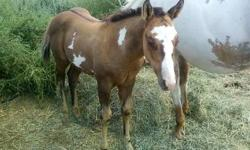 June 2013 dun overo stud colt, Hot Scotch Mojito, APHA#1028025. Deposit will hold until weaned Nov 1st. Bloodlines include APHA Champion Hot Triple Scotch by World Champion Hot Scotch Man, Impressive QH, Sonny Dee Bar QH and Painted Robin. HYPP N/N. Loki