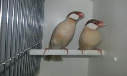 """5 Gorgeous Javas finches """" Fawn $45.00 each I Will Ship, if you need it you can make the payment with PayPal or creditcards small additional fee for or postal money order, moneygram, western union Call or text me 305-562-7906 CARLOS"""