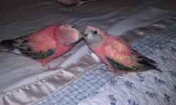 I have three beautiful female turquoise parrotlets born early October. They will need attention but could make wonderful pets or breeders.