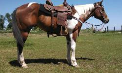 TONKYA TOY IS COMING 13YR THIS YEAR 15/1HHS VERY SWEET GELDING, HE WILL GO ANY WHERE, WALKS, TROTS, CANTERS, VERY SMOOTH, PICKS UP BOTH LEADS, MOVES OFF YOUR LEGS, HE WILL GO THREW WATER, CREEKS, OVER LOGS, BRIDGES, BRANCHES HITTING HIM FROM BEHIND DOESNT