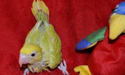 I am currently hand feeding a gorgeous lime green and bright yellow Pallid (lacewing) Indian Ringneck that was hatched 3/7/15. I will take and post new pictures as the baby grows and gets more feathers. They usually wean at approx 2 months old, but I do