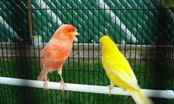 Some nice healthy yellow canaries only 45 each.