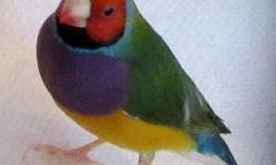 I have (4) ADULT Male Gouldians .. that are $75.00 each .. and (4) ADULT Female Gouldians .. $75.00 each .. 8 - 1 year and younger Gouldian Finch Birds , 4-5 inches Long , The will be Gorgeous Color Birds $50.00 each ..They are just starting to color up