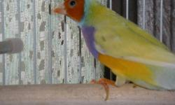Yellow head, white breast, green back gouldian finch for sale. 1 Yr old male.