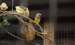 A few young gouldians available. 1) Red-faced, green back, purple chest male, 1 yr old, $50 2) Black faced, green back, purple chest female, 3 months old (just starting to get adult colors), $40 3) Two dilute males, will be purple chest, red-faced (not